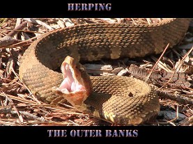 herping, north carolina, water moccasin, cottonmouth, cottonmouth snake,